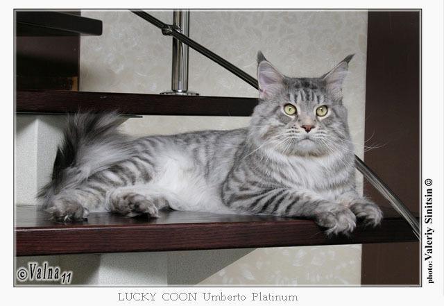 Lucky Coon Umberto Platinum
