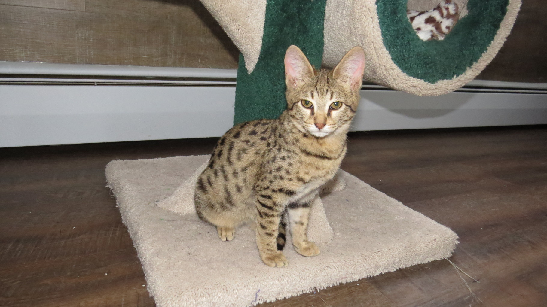 Chaton Savannahs Kitten F2B |  Gold Savannahs