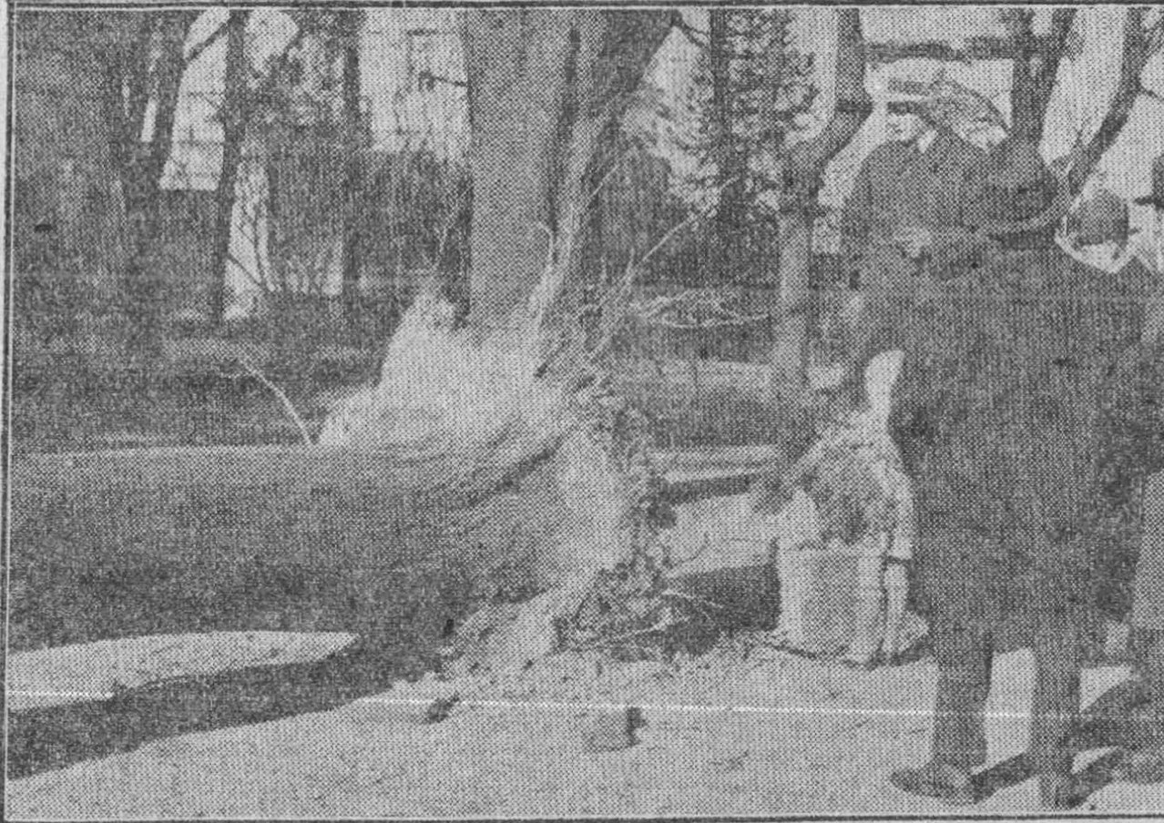 """Nel febbraio del 1935 la violenza dello scirocco fu tale da sradicare anche un albero secolare ai Giardini Pubblici (Fotografia di Cesare Valerio pubblicata su """"il Biellese"""")"""