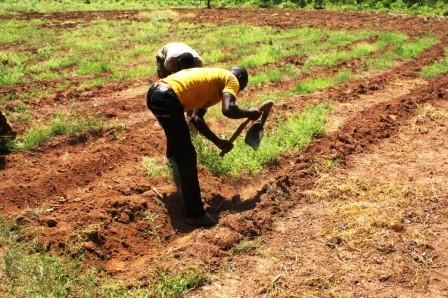 Préparation des champs à la main - Batia juin 2013