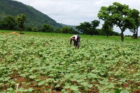 1 mois après le semis à Koualégou - juin 2012