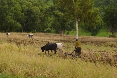 Traction animale pour préparer les champs - Sangou juillet 2012