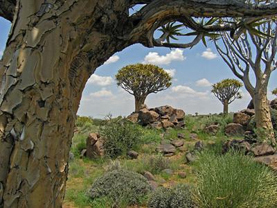 Der Köcherbaum (Aloe dichotoma)
