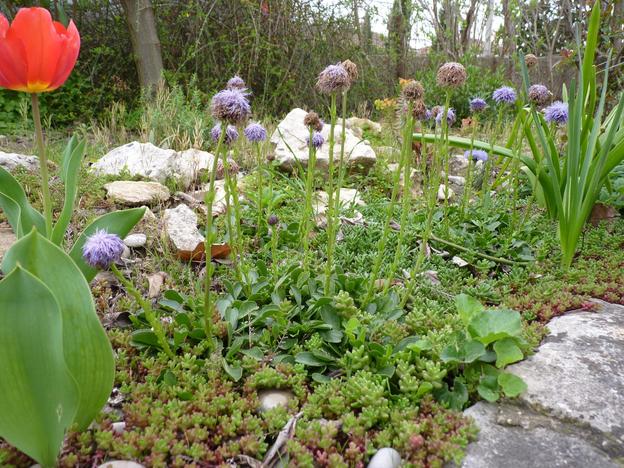 Globularia trichosanta et Sedum ' Coral Carpet'