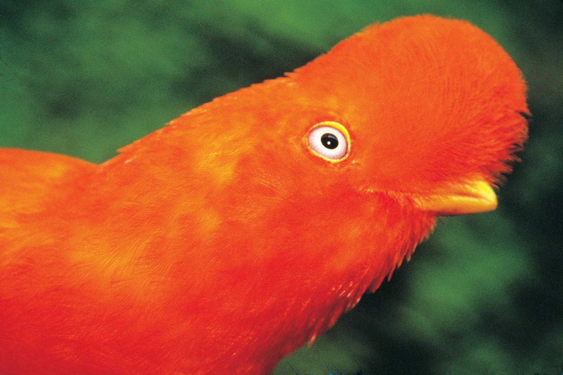 Cock of the Rock - bekommen Sie ihn im Regenwald zu sehen?