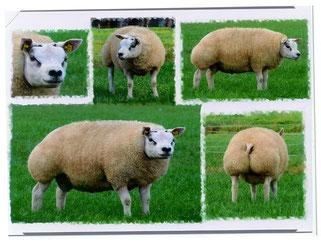 Texelaar Texel edehaan Sheep schapen
