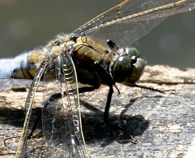 Auge in Facettenauge mit der Libelle