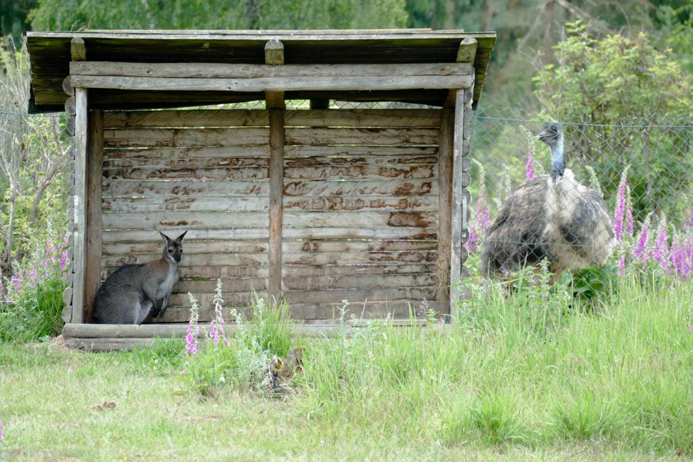 Links das Känguru, rechts der aufmerksam blickende Emu