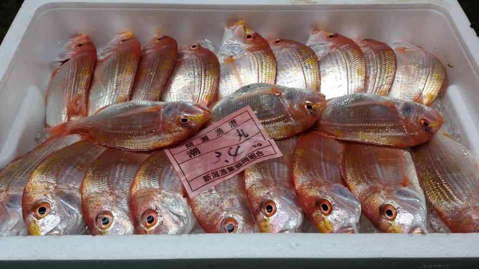 間瀬漁港 連呼鯛