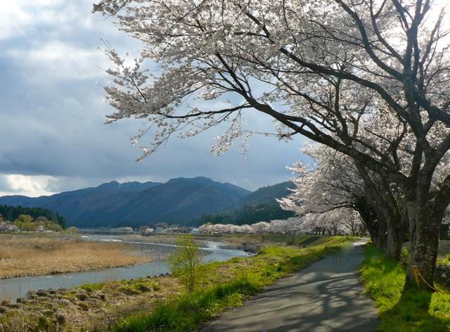 図書館裏の桜並木