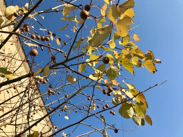ハンカチの木