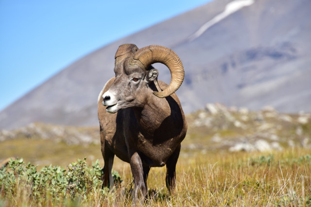 Eine Herde Bighorn Sheep weiden am Wegrand