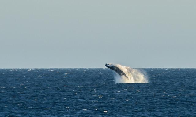 Die Buckelwale aus Alaska schwimmen hier her um ihre Jungen zu gebären und sich zu paaren.