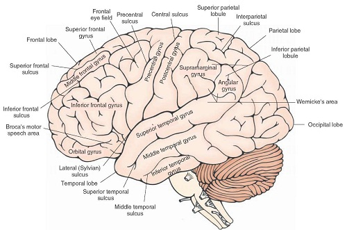 sulci and gyri of the brain