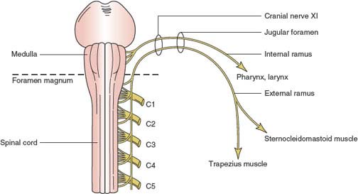 accessory nerve tract