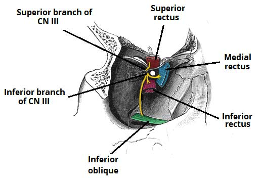 Oculomotor nerve superior and inferior branches
