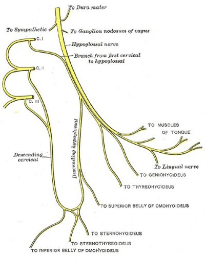 branches of the hypoglossal nerve