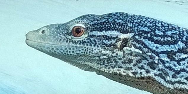 Varanus macgraei