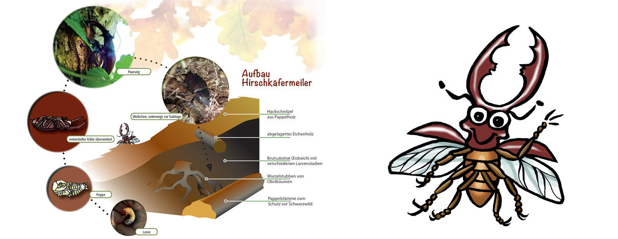Illustration Lebenszyklus Hirschkäfer – Infotafel Schutzgebiet Gemeinde Ketsch