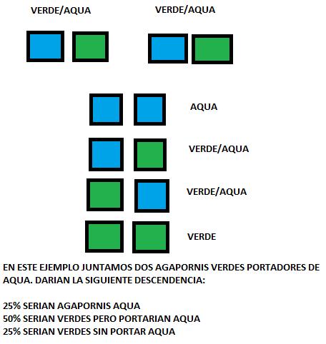genética agapornis