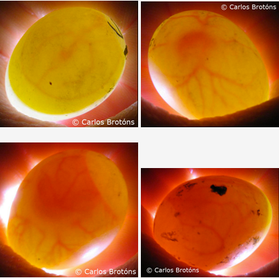 Huevo agapornis fecundado 3, 7, 9 y 12 dias