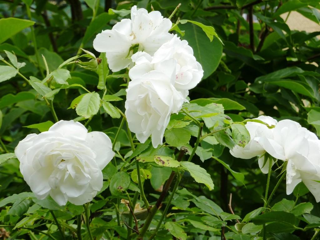 Weiße Rosen in unserem Garten