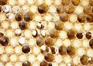 mycose nature et abeilles cambo les bains. Black Bedroom Furniture Sets. Home Design Ideas