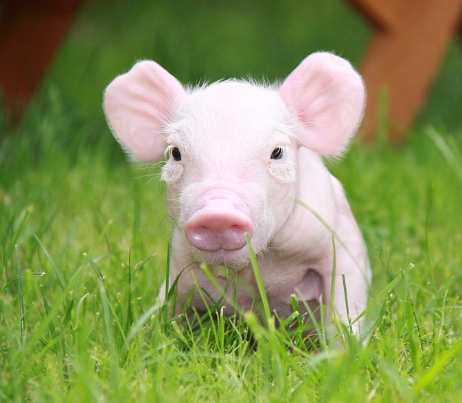 Schwein mit Behinderung; sie war teilweise gelähmt