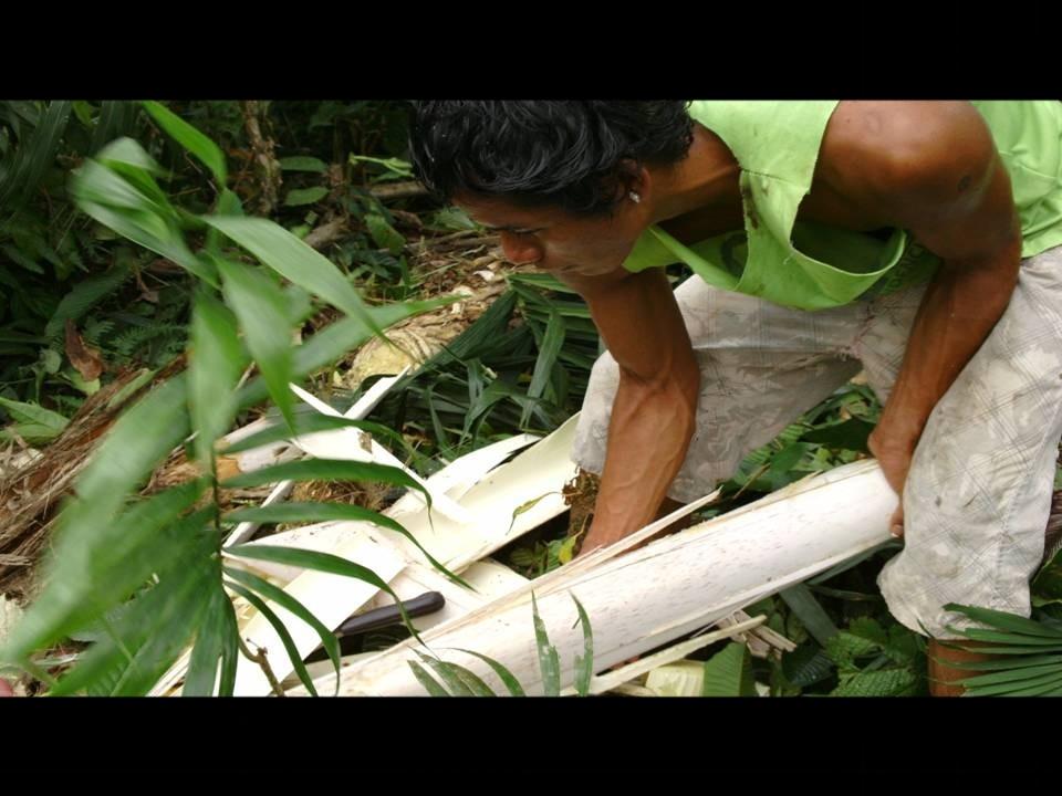 Cœur de Palmier : l'arbre est abattu, 30 mètres pour n'en prélever qu'1 ... Equateur