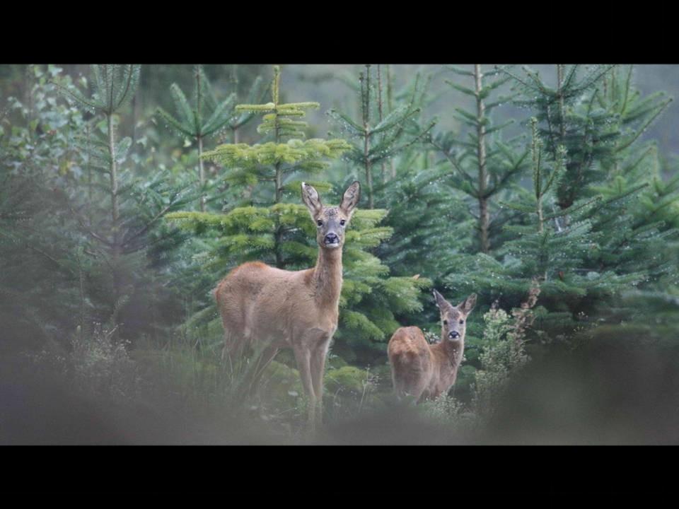 ...parce que la forêt serait vide sans les Chevreuils...