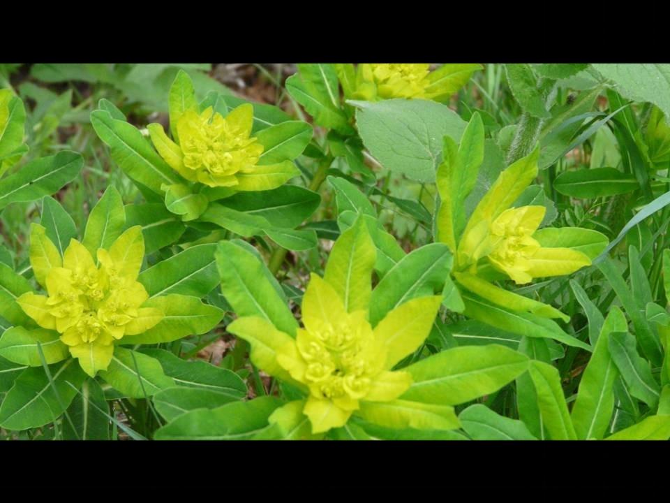 Euphorbia Hiberna en Vallée de Chaudefour