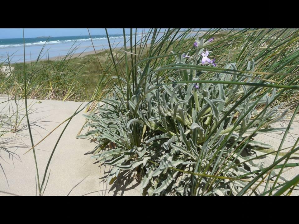 La Mattiole, plante halophile. Bretagne