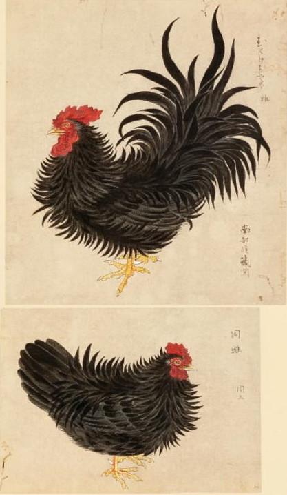 むくげちゃぼ 禽譜 宮城県図書館所蔵