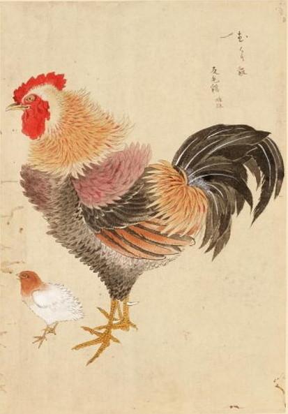 反毛鶏 禽譜 宮城県図書館所蔵
