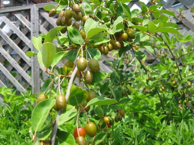 グミの実が赤らんできています。