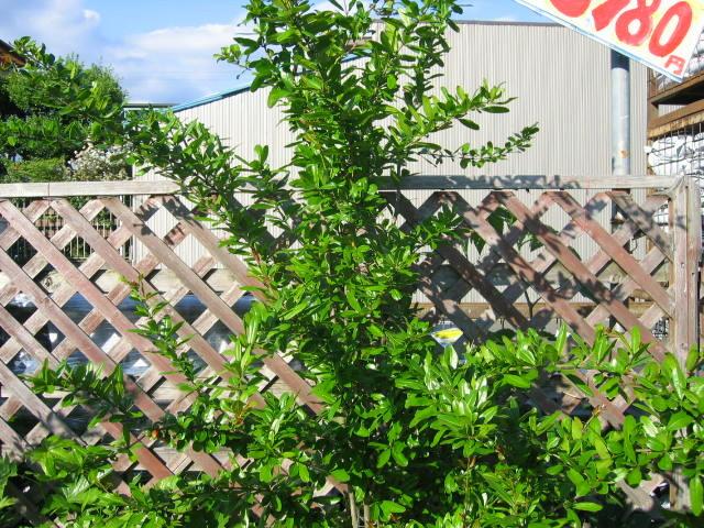 800円で買ったザクロの木