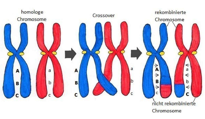 Was ist die Genetische Variabilität? - Bio einfach erklärt
