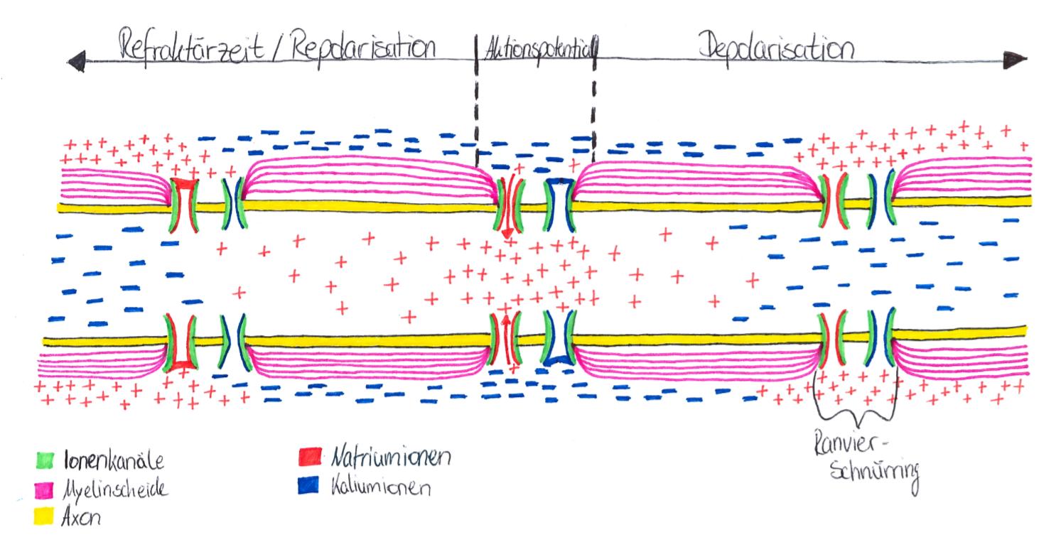 Wie funktioniert die Erregungsleitung - kontinuierliche und ...