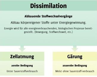 Abb.1: Die Dissimilation (Quelle: fehertamas.com)