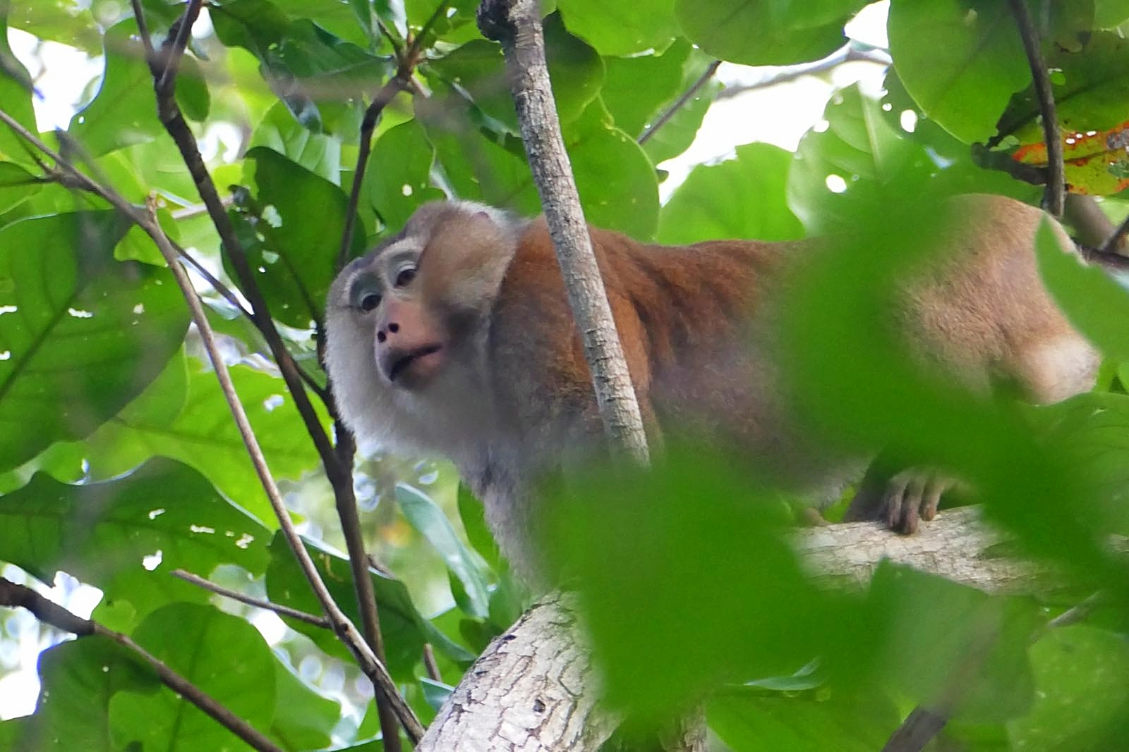 Kritischer Affe