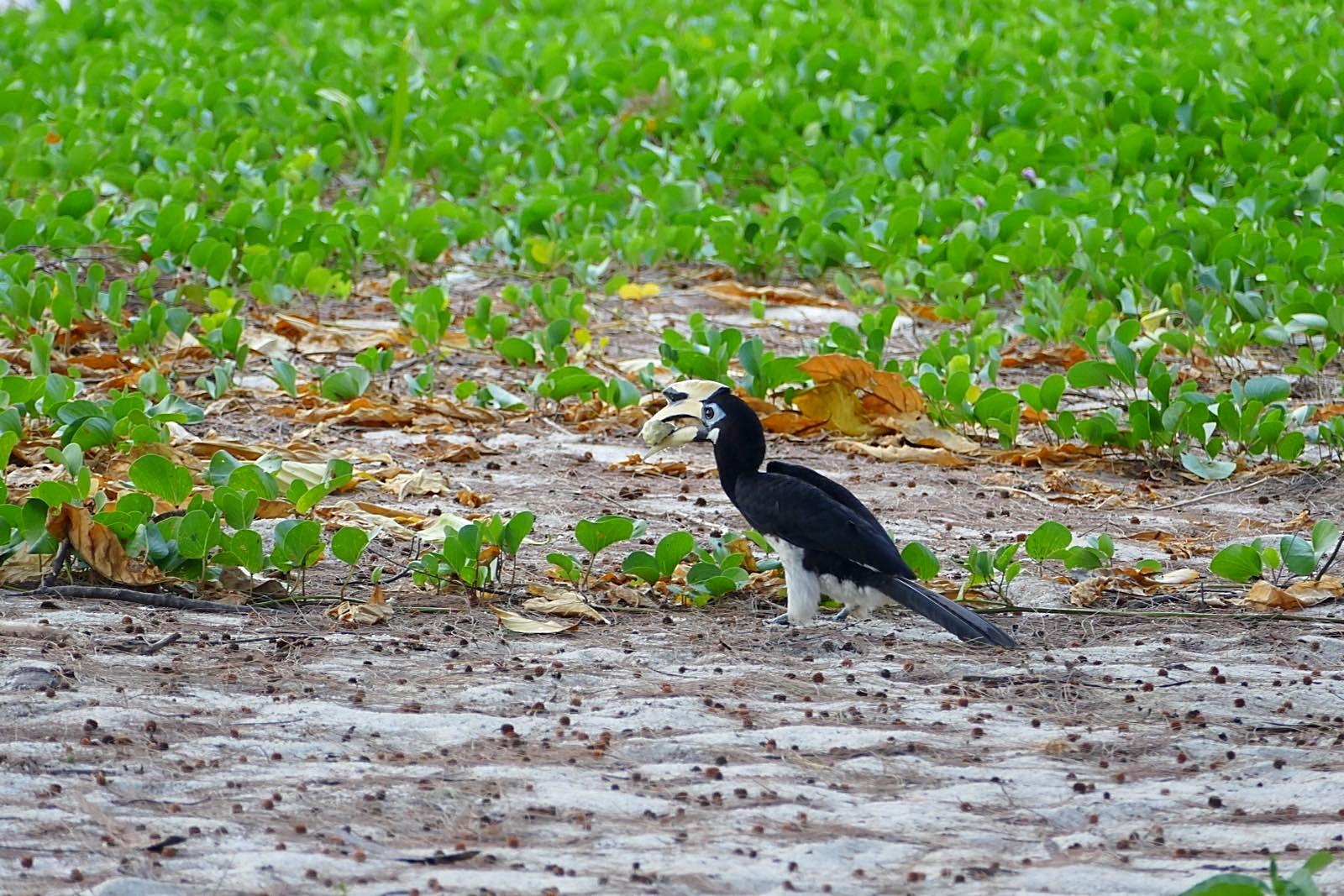 Hornbill mit Futter