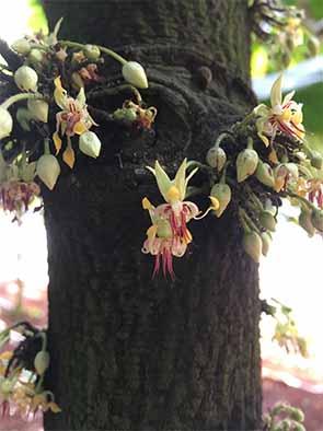 幹にカカオの花。やがて実を結びカカオポッドになる