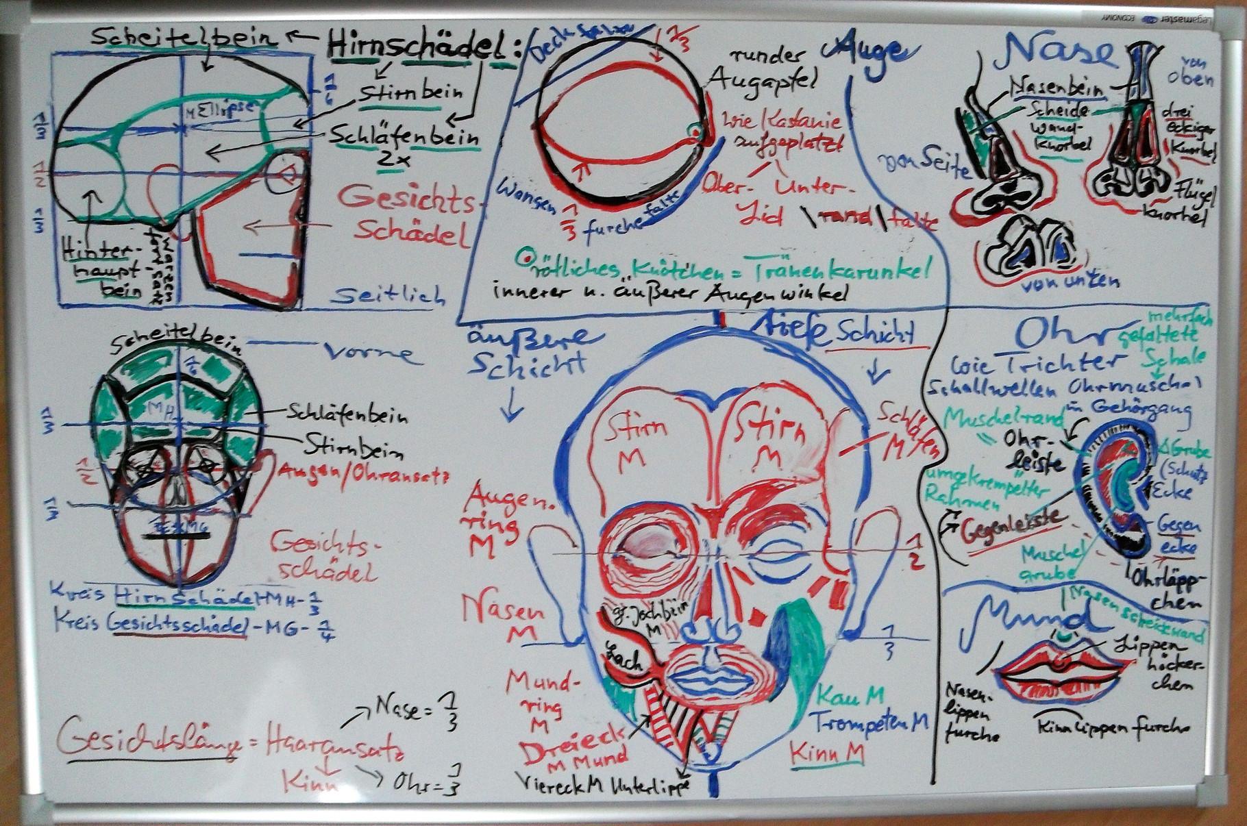 Witheboardtafel aus meiner Lehrtätigkeit in Künstleranatomie