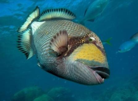 Riesendrückerfisch, Shab Saiman,Safaga,seltener Tauchplatz, Korallengarten