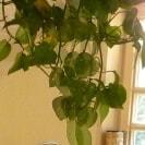 grüne Zimmerpflanze