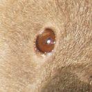 Auge vom Koalabär