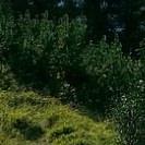 ein dunkelgrünes Gebüsch