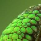 grüner Panzer von einem Chamäleon