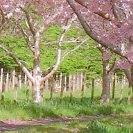Obstgarten blühend