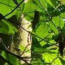 Buchenstamm mit Blättern